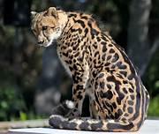 Cheetah, sitting