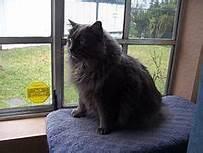 Grey cymric cat, seated