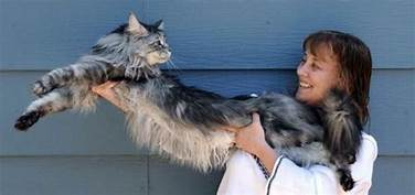 woman holding long Maine coon cat