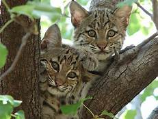 two bobcat kittens in tree