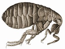 detailed drawing of a flea