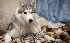 large husky; small cat sleeping with him