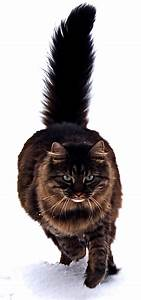 Maine Coon cat (dark color) with tail erect