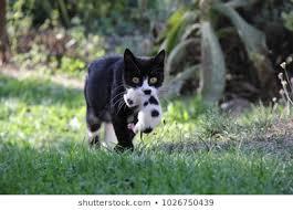 black cat carrying black & white kitten