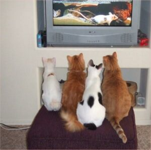 2 white cats & 2 orange cats, watching mouse movie