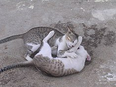 Two cats tussling