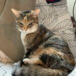 Calico cat sitting on chair