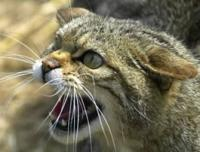 Aggressive cat, mouth open