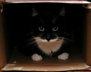 Tuxedo cat in cardboard box