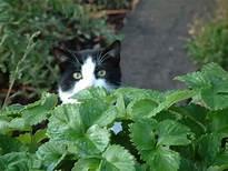 Black & white cat in strawberries