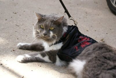 grey & white cat lying down, harness and leash