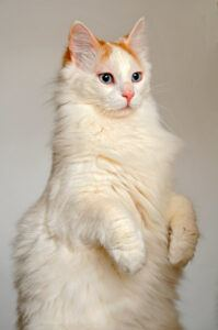 Turkish Van cat sitting up on hind legs