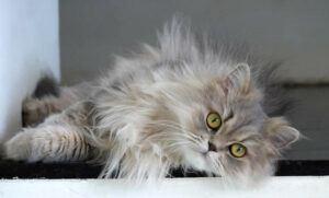 Silver Persian, reclining