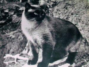 Siamese cat, standing