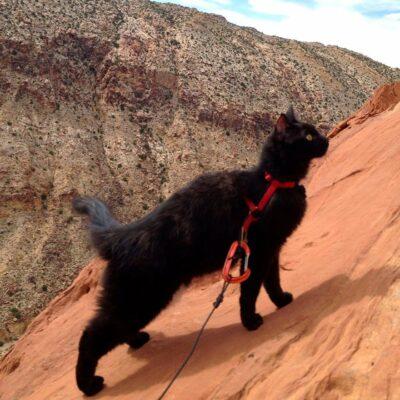 black cat in harness & leash climbing rock cliff