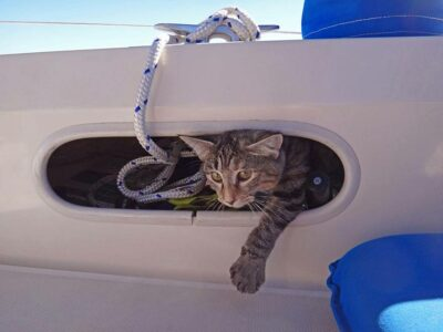 tiger cat looking out of boat gunnel
