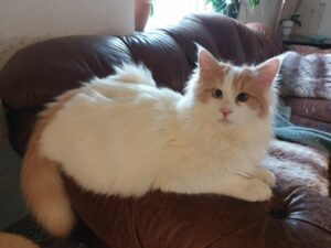 Turkish Van cat sitting on arm of sofa