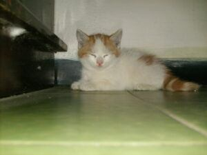 Turkish Van kitten, lying down