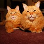 Two longhaired orange cats, lying down