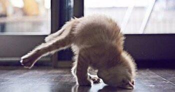 Kitten standing on its head