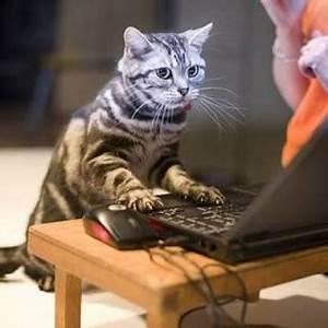 Tiger cat sitting at computer