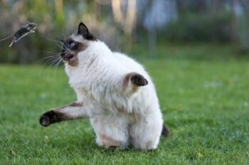 Siamese playing catch with mouse
