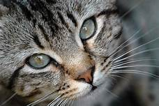 Closeup of grey striped cat face; nose pic clear