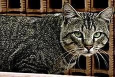 Felis sylvestris catus