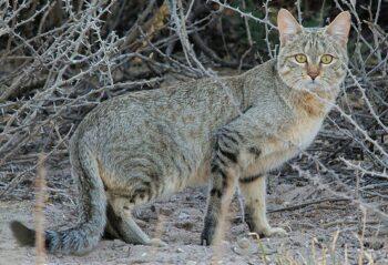 African Wildcat (Felis silvestris)