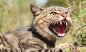 Tiger-striped feral cat snarling