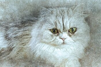 Drawing of silver cat, long hair