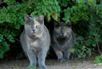 two grey feral cats