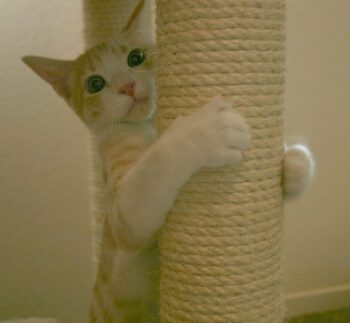 Young orange & white cat hugging scratching post