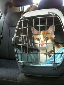 orange and white kitten in carrier