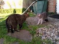 Two cats facing off: aggression