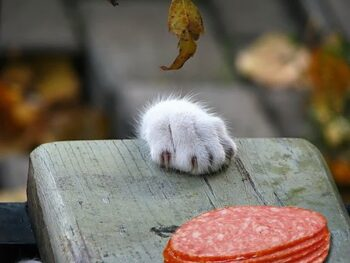 Sliced meat; cat's paw reaching