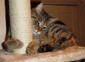 Tiger cat hanging onto scratching post
