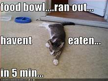Cat pretending to be starving