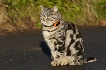 Tabby cat with GPS tracker collar