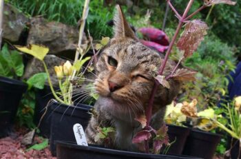 grey cat sniffing catnip plant