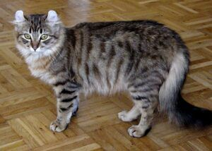 Grey & black striped cat, curled ears