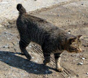 Grey striped cat with bobtail