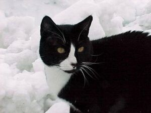 Carlos, a tuxedo cat, in the snow