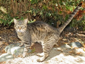 grey tiger cat outdoors