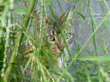 grey cat peering through long grass