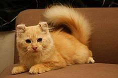 Small orange cat with curled ears