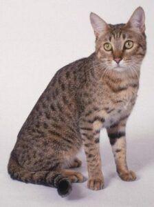 Grey cat with many dark spots
