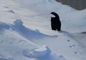 Black cat in snow; trail of footprints
