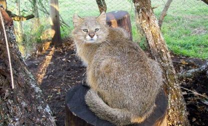light tannish yellow pampas cat