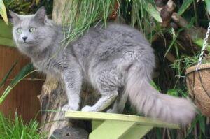 Light grey cat, semi-long hair (Nebelung)